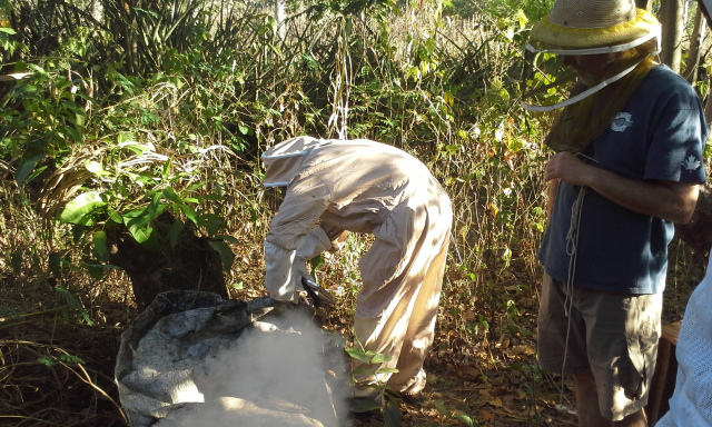 Simon inspecting tarp lid hive. This colony demonstrated behaviour we'd normally associate with Africanized bees.